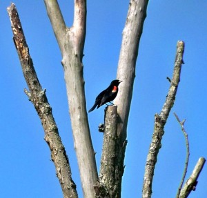 Redwinged blackbird at JCWetlands.1
